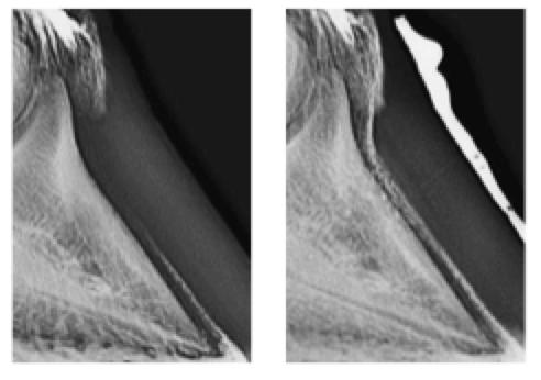 Unghia cavallo e osso navicolare: Lorenzo d'Arpe Medico Veterinario è esperto di laminite nel cavallo, navicolite e in tutte le patologie del piede del cavallo. Come evitare un cavallo zoppo