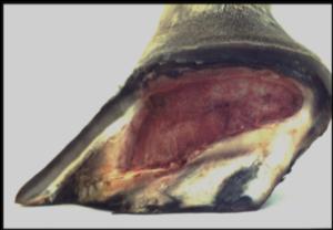 Unghia cavallo: Lorenzo d'Arpe Medico Veterinario è esperto di laminite nel cavallo, navicolite e in tutte le patologie del piede del cavallo. Come evitare un cavallo zoppo