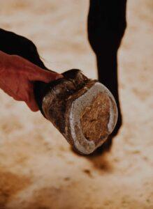 Piede del cavallo: Lorenzo d'Arpe Medico Veterinario è esperto di laminite nel cavallo, navicolite e in tutte le patologie del piede del cavallo. Come evitare un cavallo zoppo