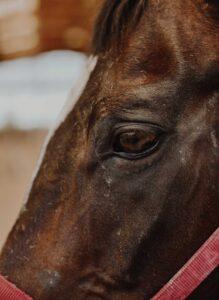 Cura del cavallo: Lorenzo d'Arpe Medico Veterinario è esperto di laminite nel cavallo, navicolite e in tutte le patologie del piede del cavallo. Come evitare un cavallo zoppo