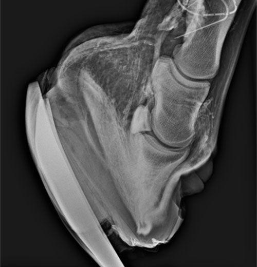 Lorenzo d'Arpe Medico Veterinario è esperto di laminite nel cavallo, navicolite e in tutte le patologie del piede del cavallo. Come evitare un cavallo zoppo a partire dall' osso navicolare fino alla cura del piede del cavallo