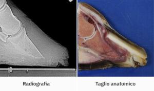 Osso navicolare cavallo e unghia cavallo: Lorenzo d'Arpe Medico Veterinario è esperto di laminite nel cavallo, navicolite e in tutte le patologie del piede del cavallo. Come evitare un cavallo zoppo